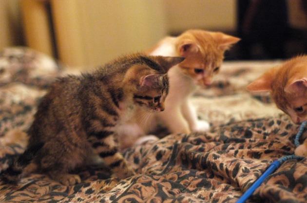 Les chatons ne peuvent résister au fameux gogosse à plumes, pas même les chatons convalescents.