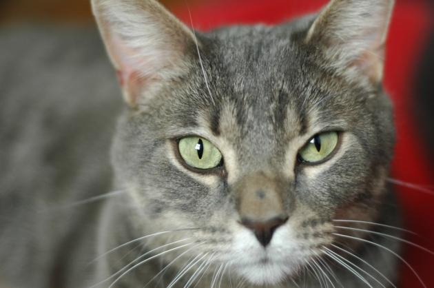 Félix, trois ans et demi, a besoin d'un foyer pour la vie. C'est un gros chaton super doux!