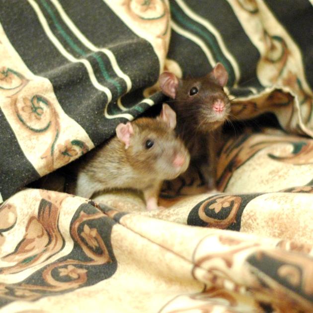 Se faire une tanière sous un oreiller : oui. Y faire son garde-manger : ouin...