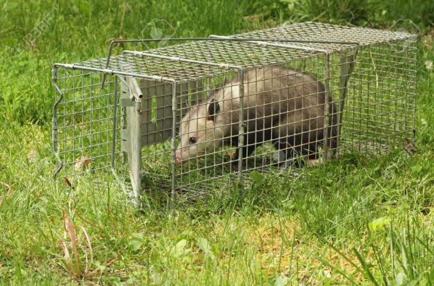La PoF cherche une cage-trappe de ce genre. (Ce chat a vraiment une drôle de tête...)