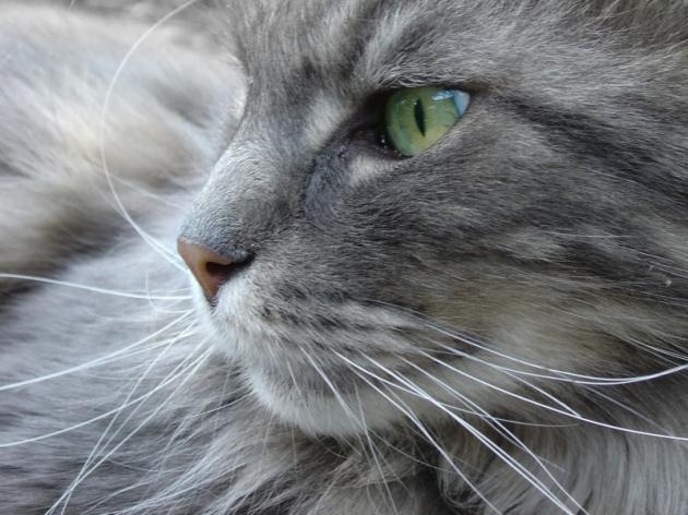 Je n'ai pas osé photographier Mitsou, mais il ressemblait à ce chat.