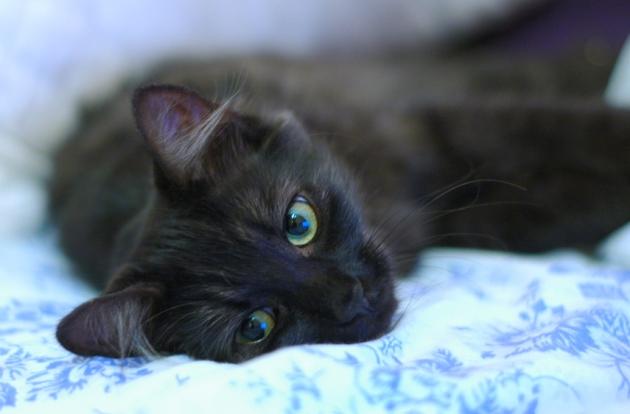Bébé Morphée, le chaton le plus soyeux du monde.