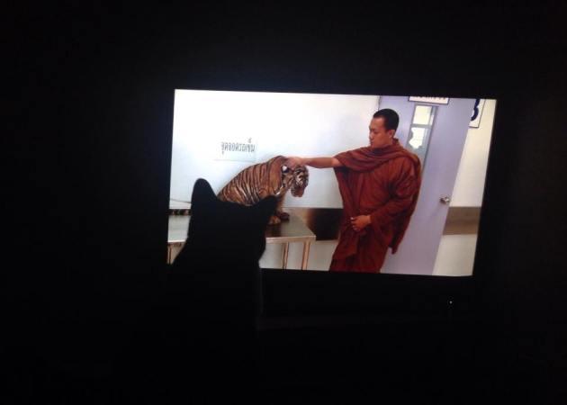 Vivre avec des chattes gériatriques, Ça veut aussi dire passer beaucoup de temps à regarder la télé avec elles. Ici, Nini observe un cousin de grande taille.